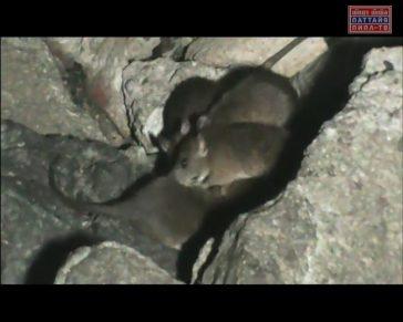 Нашествие крыс на пирс Вali Hai