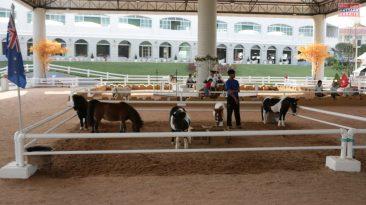 """Ферма карликовых пони """"Pipo Pony Club"""""""