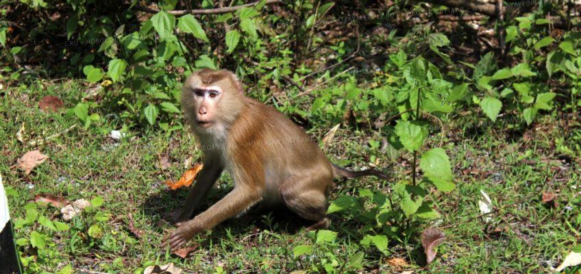 Сдерживание популяции обезьян в окрестностях Паттайи