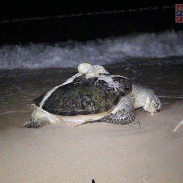 К берегу Паттайи прибило останки гигантской черепахи