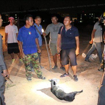 Война против собак в Паттайе