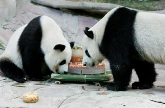 Панда из Китая в зоопарке Чиангмая готовится к родам