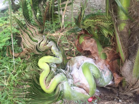В Паттайе появилось дерево, приносящее удачу