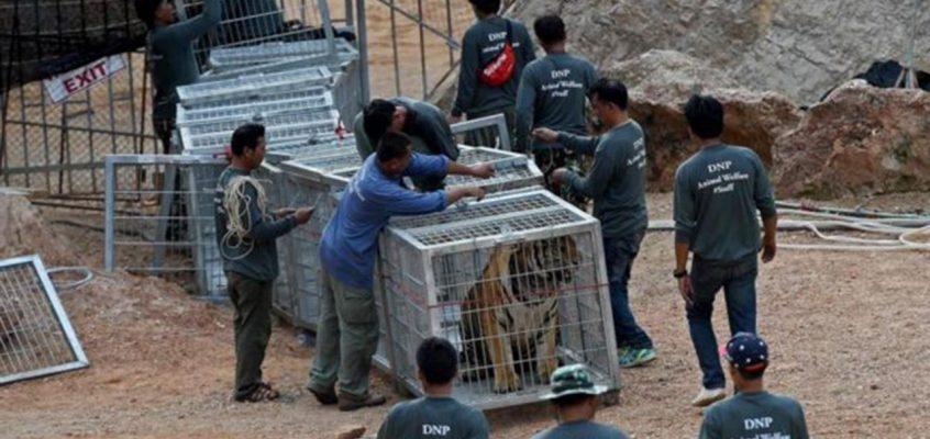 Тигриный храм в Таиланде расформировали