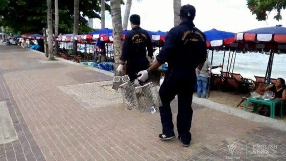 В Паттайе ловят крыс на пляже