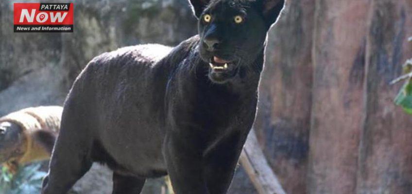 В зоопарке Кхао Кхео появился черный ягуар