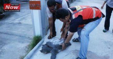 Черепаха пришла за помощью к людям в Таиланде