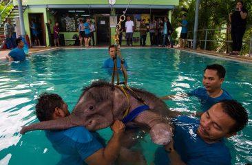 Слоненок нашел вторую маму в Паттайе