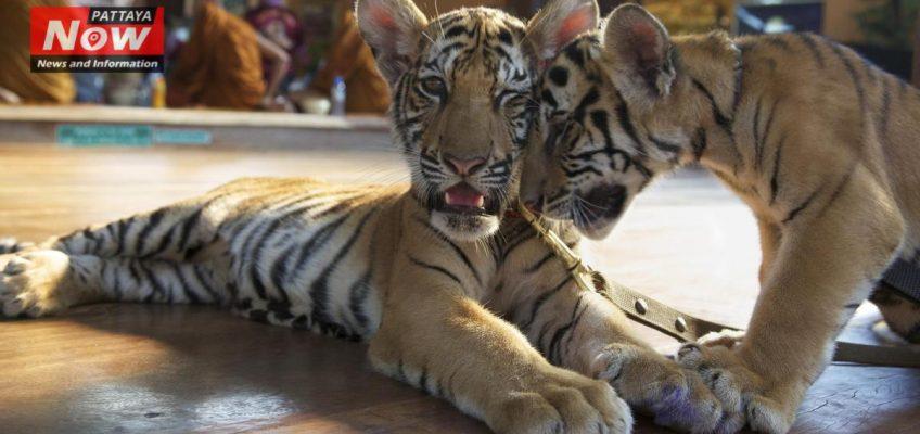 Тигриный храм в Таиланде вновь открыт