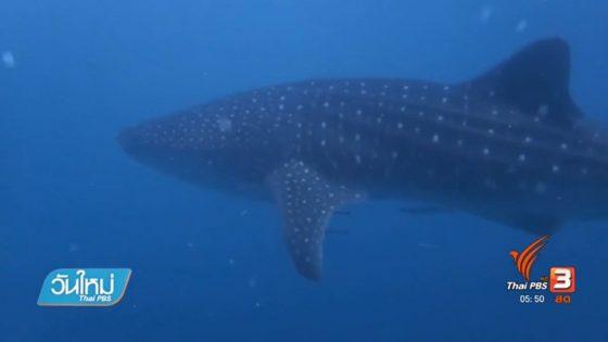 Китовая акула обнаружена в Таиланде
