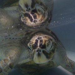 Живая копилка — в Таиланде врачи нашли деньги в черепахе