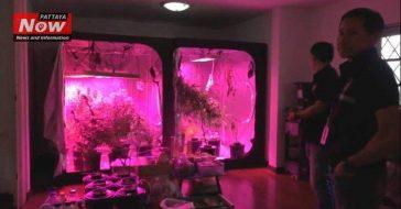В Таиланде арестован мужчина за выращивание марихуаны