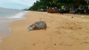 Мертвую черепаху выбросило на пляж Джомтьена