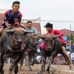 Гонки на буйволах в Таиланде – азартный восторг