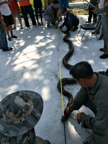 10-метрового питона нашли в центре Паттайи