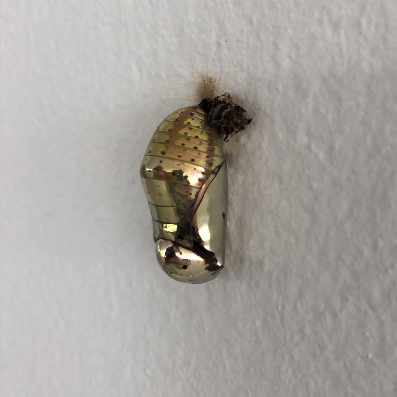 Кокон бабочки Mechanitis polymnia