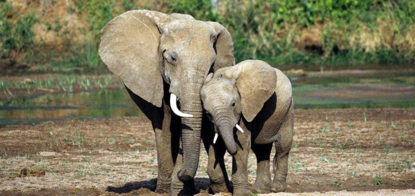 Беда со слонами в Таиланде (ВИДЕО)