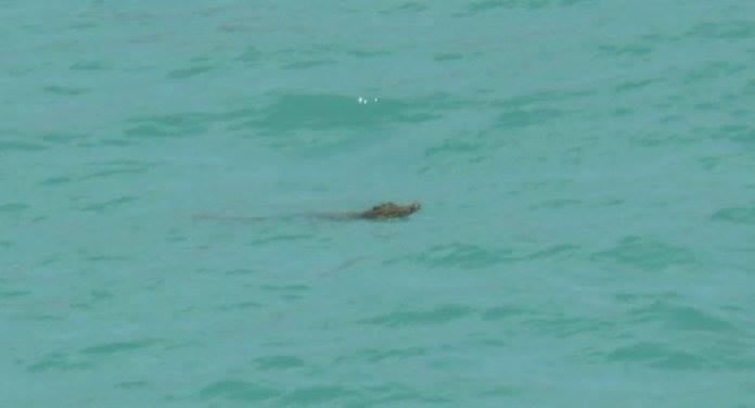 На Пхукете в Таиланде поймали крокодила