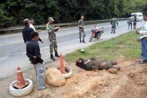 в Таиланде грузовик сбил азиатского черного медведя