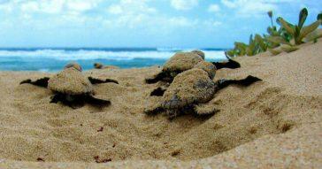 Найди черепаху в Таиланде - получи денежное вознаграждение