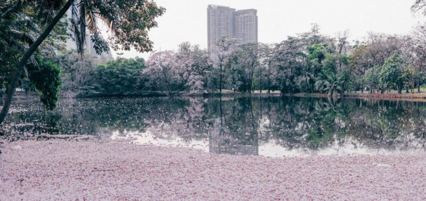 Бангкок в розовом цвету – в столице Таиланда зацвела Табебуйя розовая