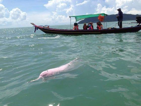 Розовые дельфины в Таиланде