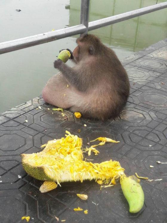 Самая толстая макака пропала в Таиланде