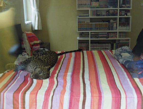 Леопард в доме живёт в туристической Паттайе