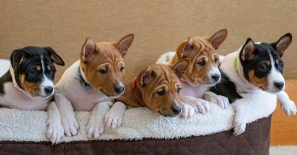 В Таиланде вывели искусственный помёт щенков от любимой собаки короля Рамы IX