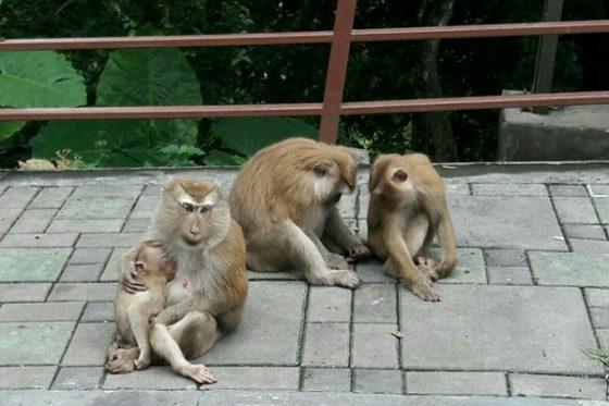 В Таиланде обезьяна укусила туриста из России (видео)