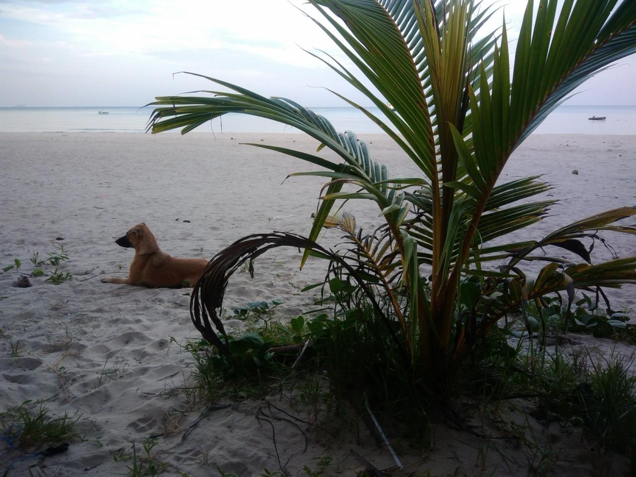 В Таиланде пляжные собаки покусали 7-летнего мальчика