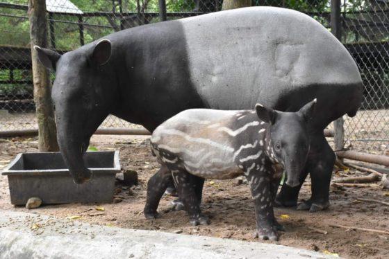 В зоопарке Кхао Кхео в Таиланде родился редкий чепрачный тапир