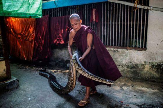 Приют для змей открыл буддийский монах вМьянме