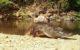 Редкого сиамского крокодила запечатлела фотоловушка в Таиланде