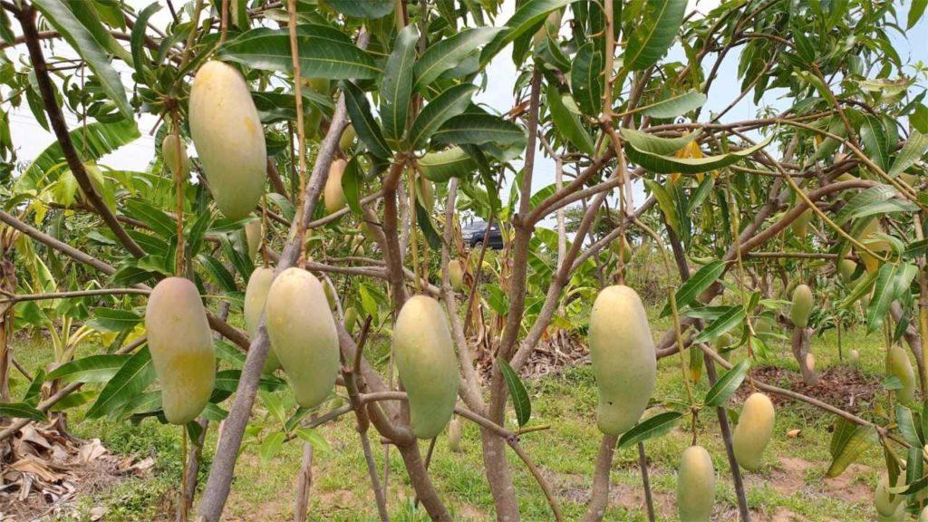 Таиланд страдает из-за низких цен на манго и сокращения экспорта